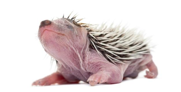 Bébé hérisson, 4 jours, contre une surface blanche