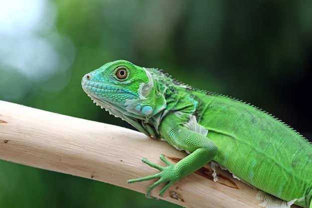 Bébé iguane vert sur une branche