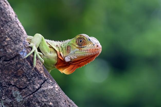 Bébé Iguanes Rouges Sur Arbre Photo Premium