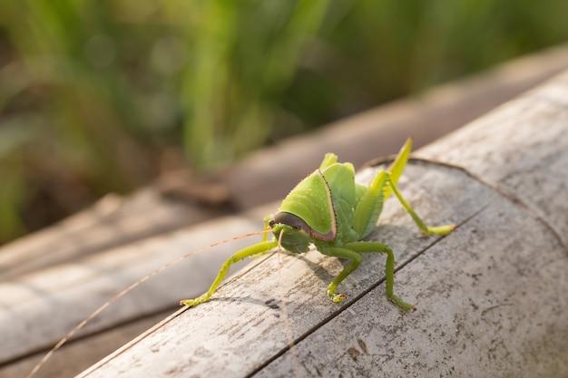 Bébé de katydid géant vert sur feuille avec fond naturel