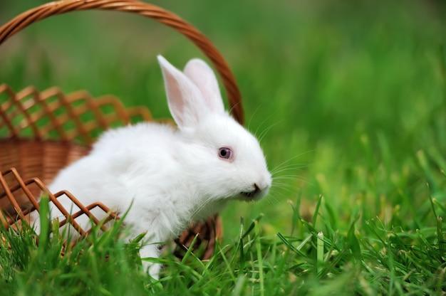 Bébé lapin blanc dans l'herbe verte du printemps