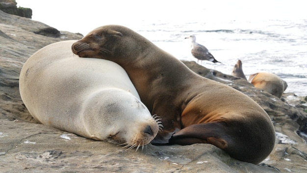 Bébé lionceau, chiot lion de mer et mère. les phoques sur ocean beach, en californie. animal endormi sur la côte.