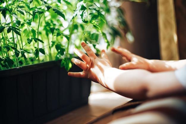 Bébé, mains, toucher, semis, tomate
