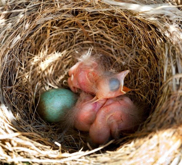 Bébé merle au nid