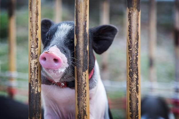 Bébé mignon cochon noir sur la cage en bois