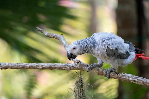 Bébé perroquet gris d'afrique avec queue rouge accrocher à la branche dans la forêt