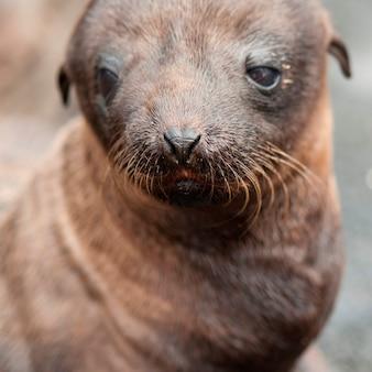 Bébé phoque à fourrure, puerto egas, île santiago, îles galapagos, équateur