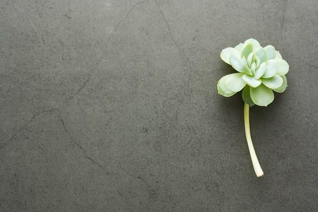 Bébé plante succulente echeveria sur fond sombre