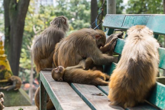 Bébé singe dormant parmi des singes adultes au temple de swayambhunath ou au temple des singes à katmandou, au népal. stock photo.