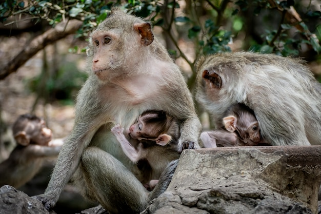 Bébé singe sous la protection de la mère. la famille des singes à la fourrure orange poilue et à l'expression humaine