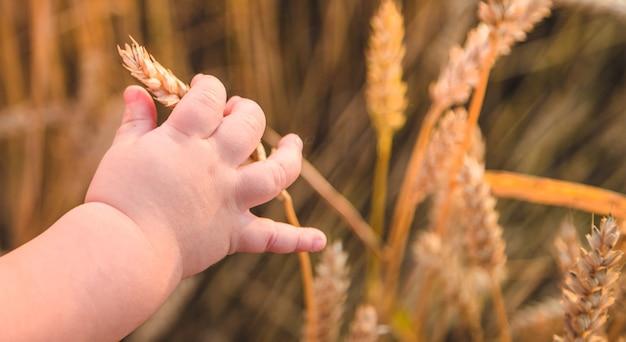 Bébé tient un épi de blé dans sa main. mise au point sélective.