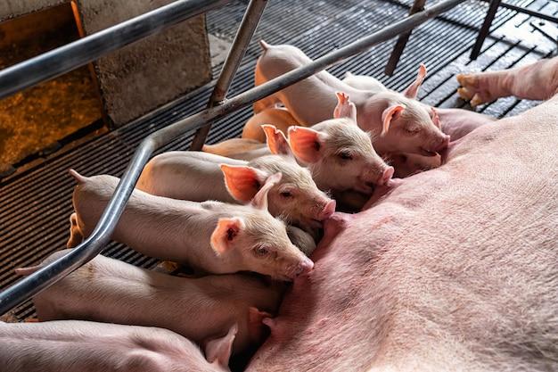 Bébés cochons en train de sucer un cochon dans des élevages porcins, industrie animale et porcine