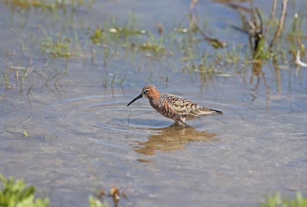 Le bécasseau courlis (calidris ferruginea) portraits en gros plan. les oiseaux se nourrissent en eau peu profonde dans une belle eau bleue.