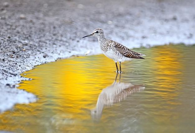 Bécasseau sur l'eau avec une réflexion de couleur dorée inhabituelle près du champ de tournesols.