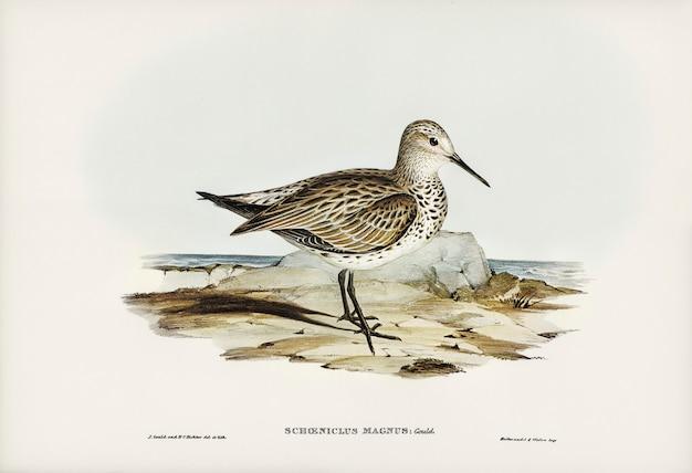 Bécasseau des grands (schoeniclus magnus) illustré par elizabeth gould