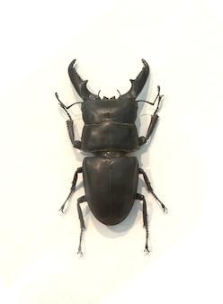 Beetle avec des cornes épaisses