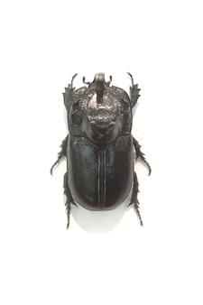 Beetle larges bords noirs