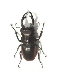 Beetle avec de longues cornes de fer barbelé