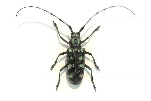 Beetle avec de très longues antennes
