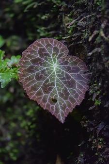 Begonia fulgurata congé coloré et natif uniquement à chiangmai en thaïlande