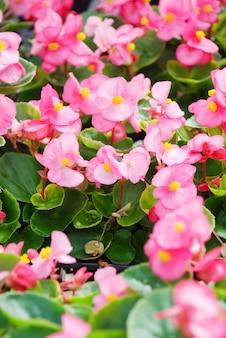 Bégonias, semperflorens bégonias, dans le jardin
