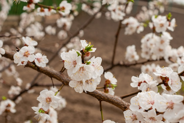 Le bel abricotier au printemps