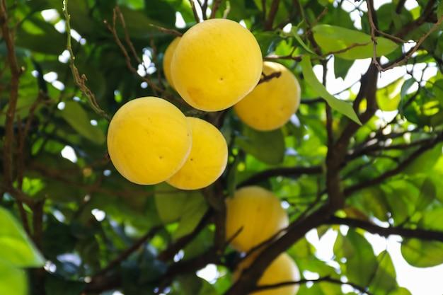 Bel arbre d'agrumes avec gros plan de fruits mûrs