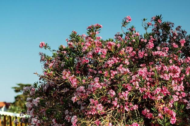 Bel arbre aux fleurs roses sur fond de ciel bleu.