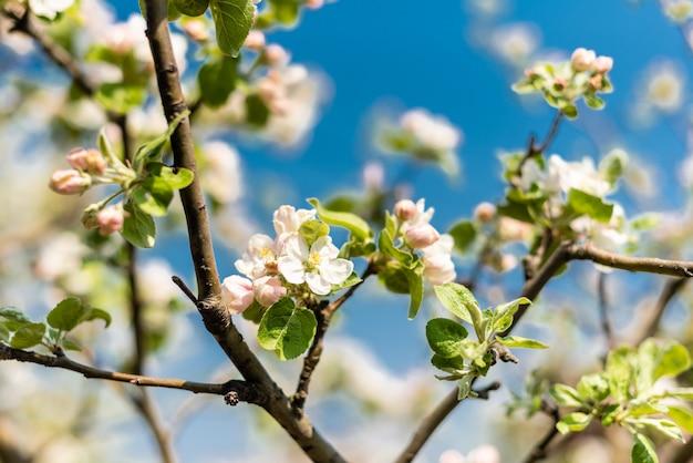 Le bel arbre fleurissant au printemps