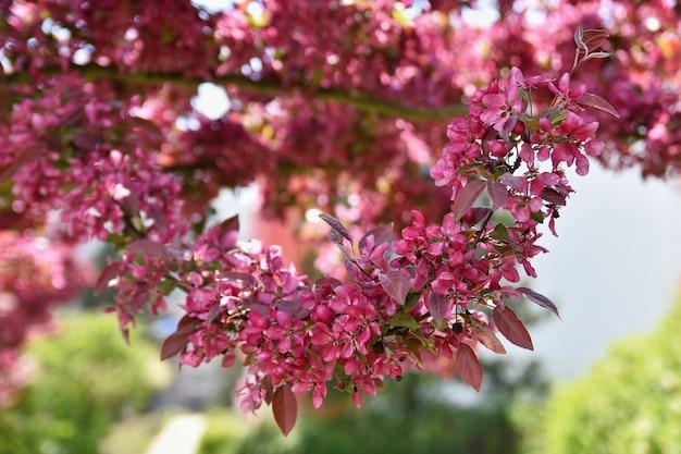 Bel arbre en fleurs au printemps.
