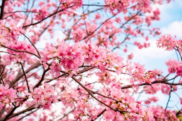 Bel arbre de fleurs de cerisier en pleine floraison contre un ciel bleu nuageux