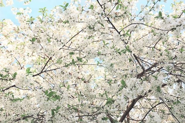 Bel arbre en fleurs sur fond de ciel