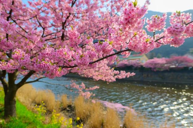 Bel arbre sakura du japon