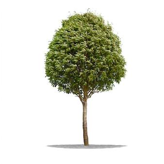 Bel arbre vert sur fond blanc en haute définition