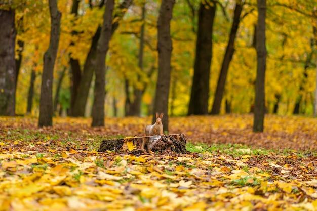 Un bel écureuil moelleux cherche de la nourriture parmi les feuilles jaunes tombées à l'automne dans un parc de la ville.
