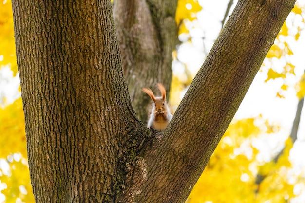 Bel écureuil moelleux sur un tronc d'arbre parmi les feuilles jaunes en automne dans un parc de la ville.