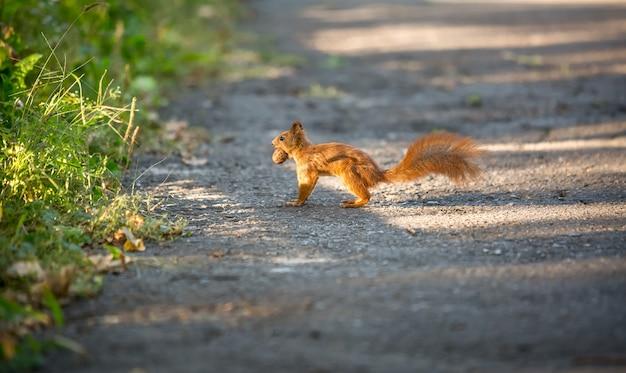Bel écureuil roux courant sur la route et transportant l'écrou
