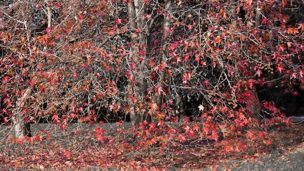 Un bel érable rouge japonais sur une journée ensoleillée d'automne. les feuilles d'érable sont tombées au sol autour de l'arbre, octobre, la nature se flétrit