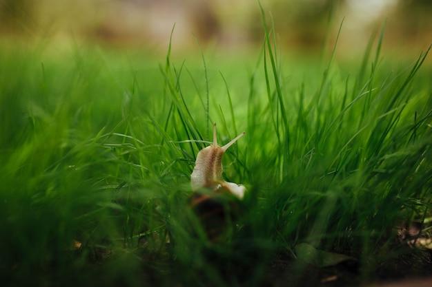 Bel escargot assis dans l'herbe verte libre