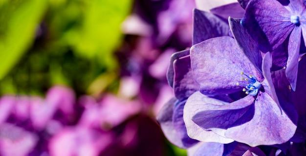 Bel hortensia lilas dans un jardin d'été en gros plan pour un site web avec des fleurs