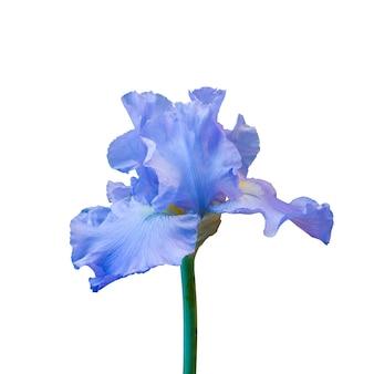 Bel iris bleu en fleurs isolé sur une surface blanche