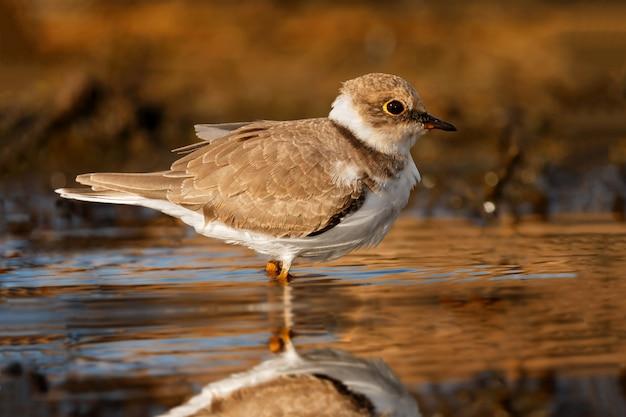 Bel oiseau échassier buvant sur l'eau