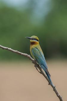 Bel oiseau mangeur d'abeilles à queue bleue