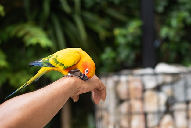 Bel oiseau perroquet sur la main de l'homme