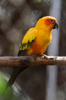 Bel oiseau perroquet sun conure coloré