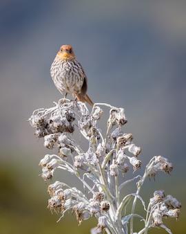 Bel oiseau avec poitrine nervurée perché sur une plante paramo blanche