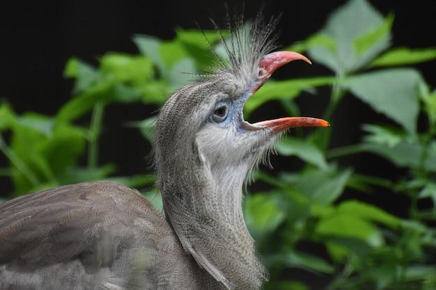 Bel oiseau seriema à pattes rouges à crête avec son bec ouvert