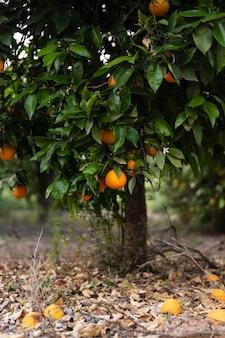Bel oranger aux fruits mûrs