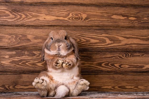 Un bélier de race lapin nain est assis. pattes postérieures de lapin puissant.