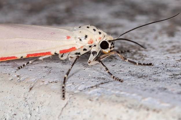 Bella moth ornée de l'espèce utetheisa ornatrix